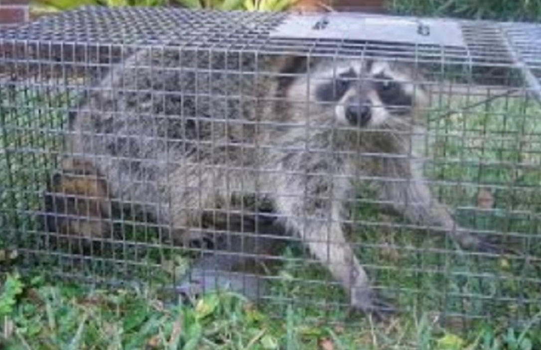 raccoon removal detroit